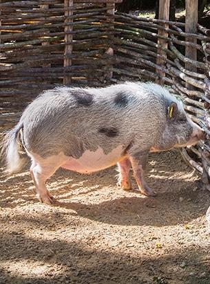 Cochon au parc Le Bournat